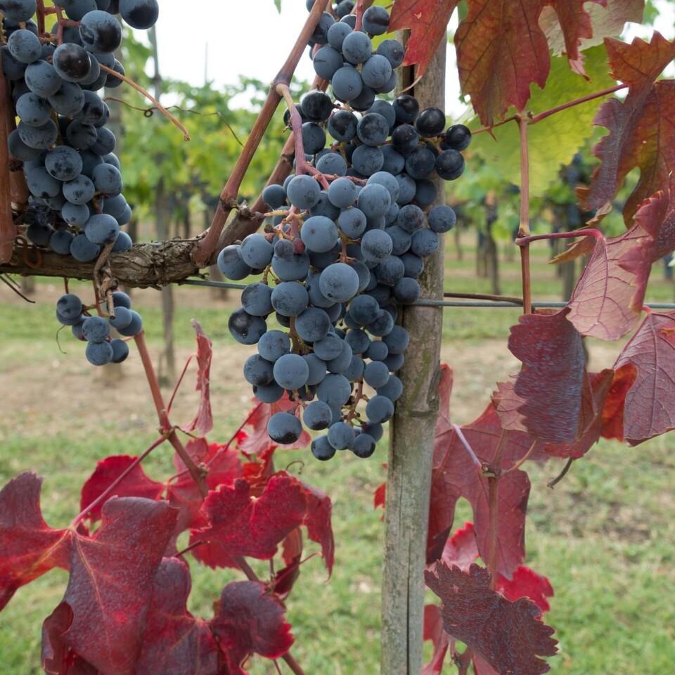 Tour del vino sulle dolci colline del Chianti